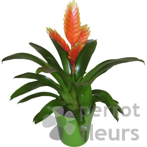 Plantes plantes fleuries bromelia for Plantes de bordures fleuries