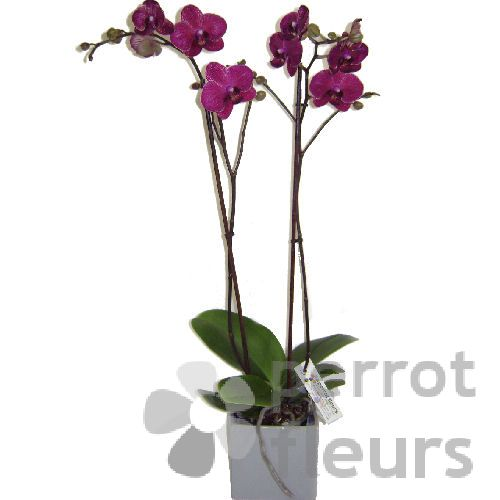 Anniversaire Nos Confections Orchidee Phalaenopsis